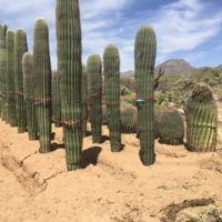 Saguaro Cacti during transplanting process
