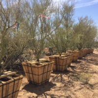 Mesquite and Palo Verde Trees during transplant and relocation process